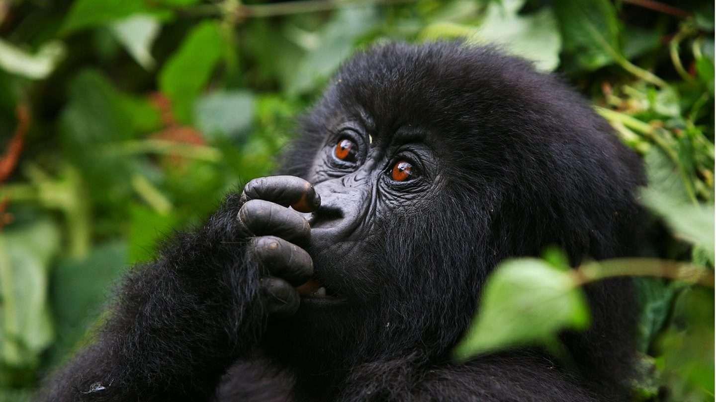 Gorilla Trekking Africa