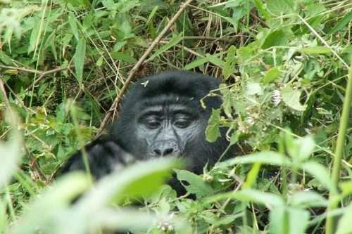 3 Day Uganda Gorilla Tracking Tour