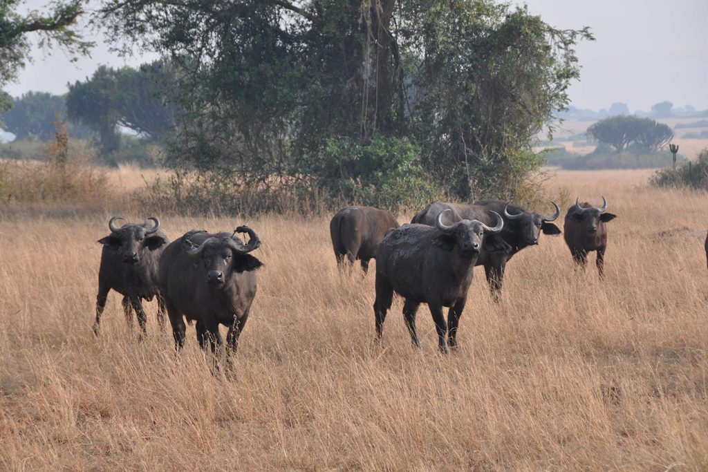 cape Buffalo - Africa Big Five Game Safaris