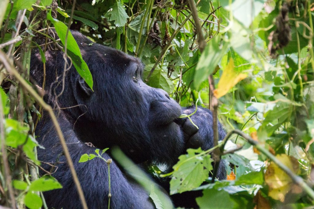 Gorilla Trekking and Chimpanzee Tracking Safari