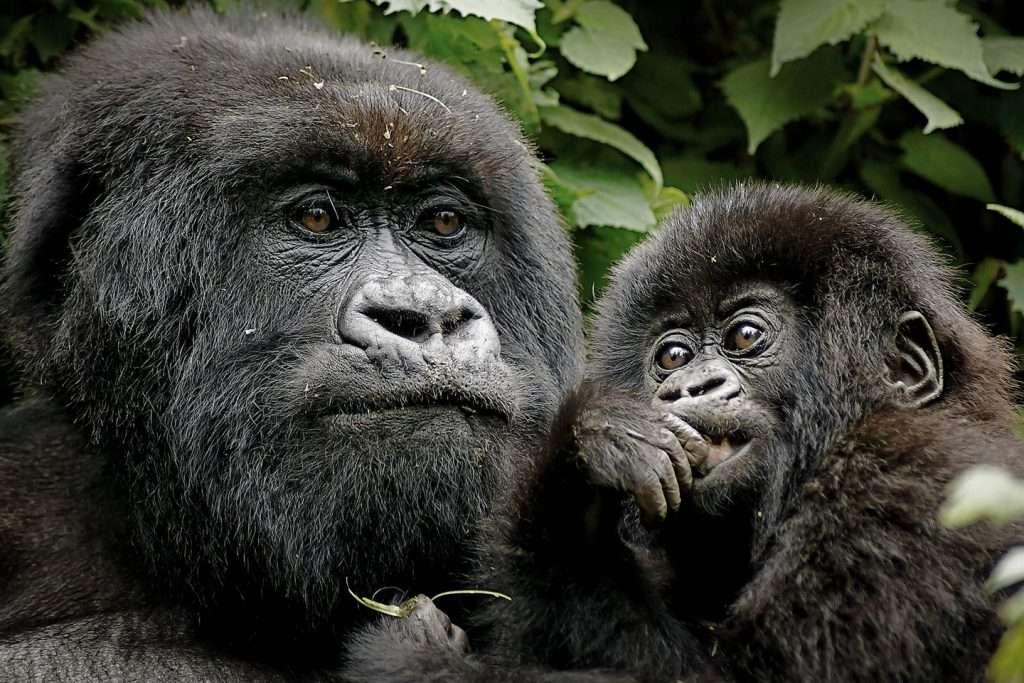 5 Day Gorilla Tracking and Akagera Safari - mountain gorilla trekking