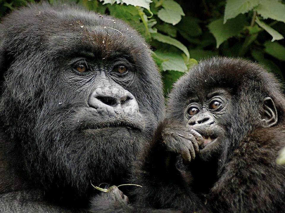 5 Day Gorilla Tracking and Akagera Safari - mountain gorilla trekking