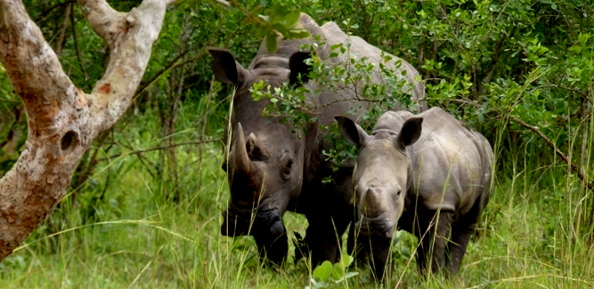 Ziwa White Rhinos Uganda - Big five Safaris