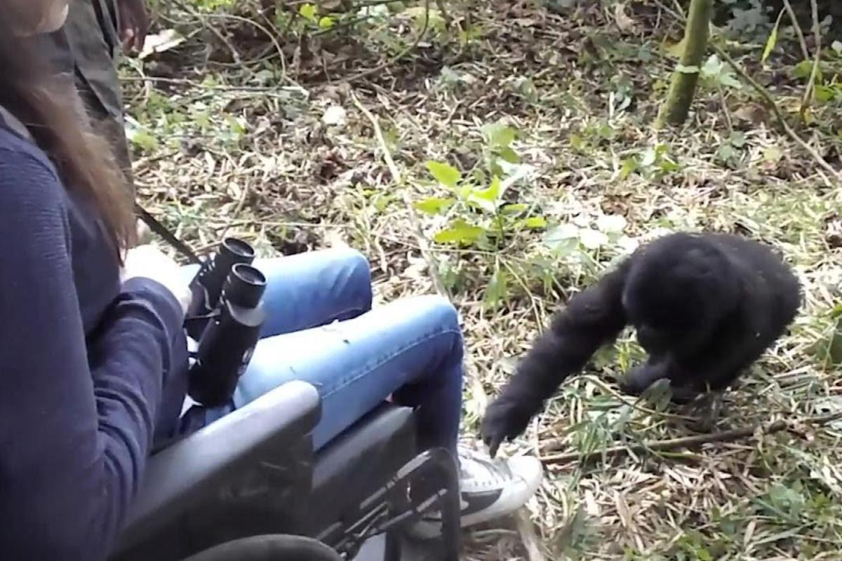 Gorilla Safaris for the physically disabled