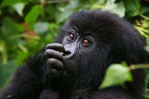 Great Migration & Gorilla Jungle Safari